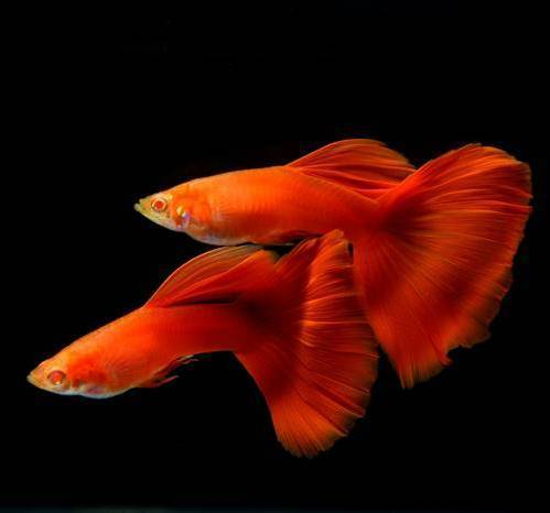 Guppy Show Delta Albino Full Red - GRADO A