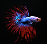 Betta Crowntail Cambodian