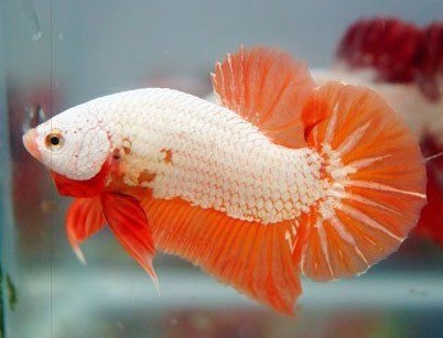 Betta HMPK Orange Dragon