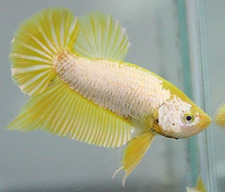 Betta HMPK Gold Dragon