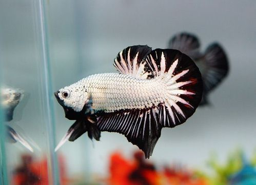 Betta HMPK Black Dragon