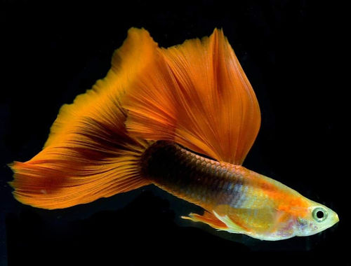 Guppy Show Delta Half Black Red