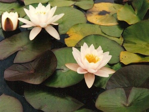 Nymphaea 'Colossea'